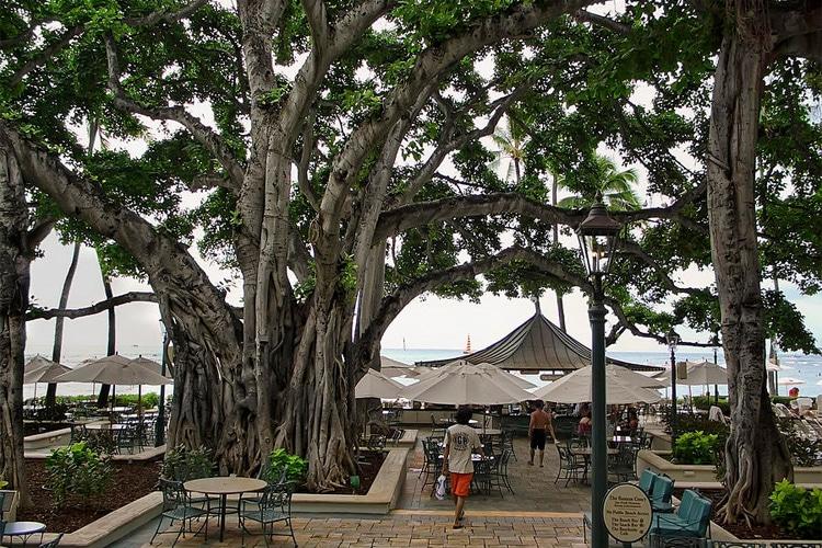 enormous banyan tree