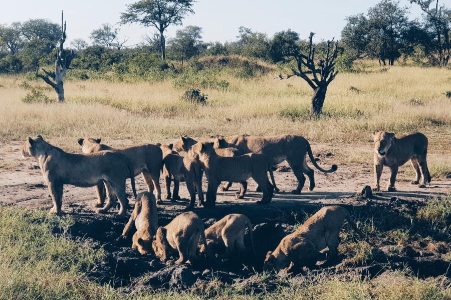 lions safari kruger national park