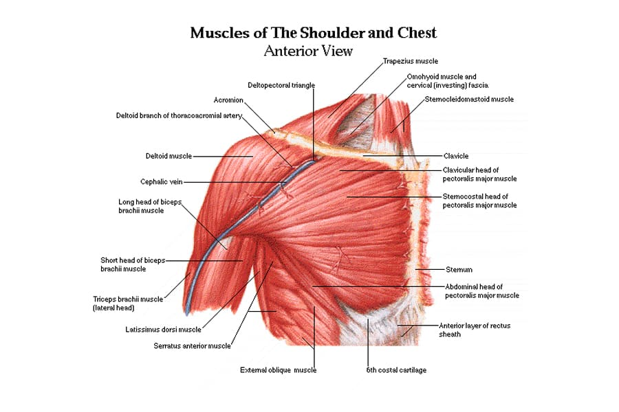 Chest and Shoulder muscle Anatomy Diagram