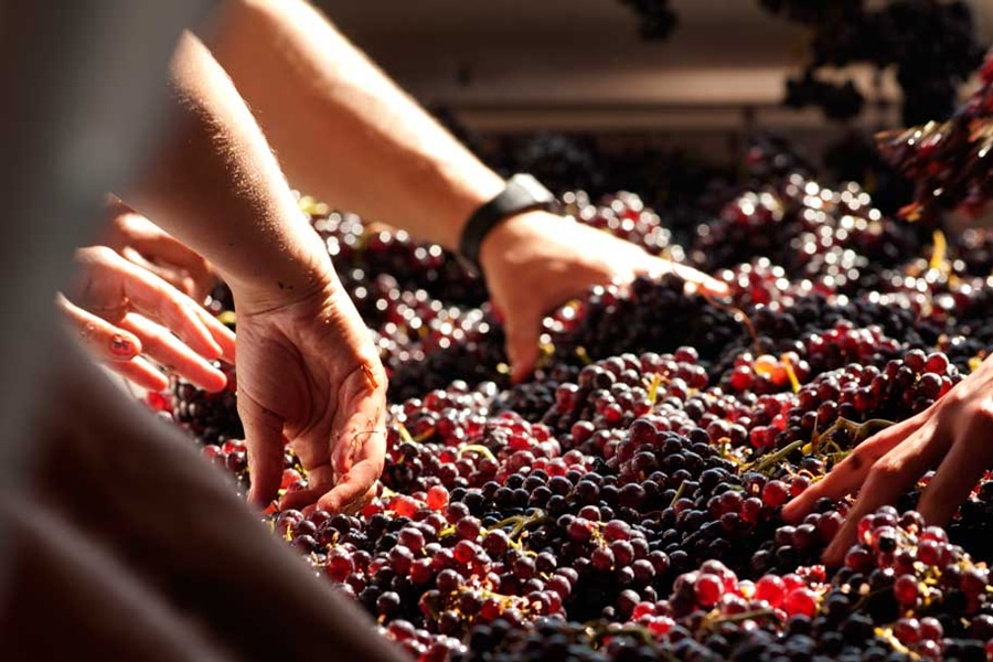 hand crushing grapes for wine