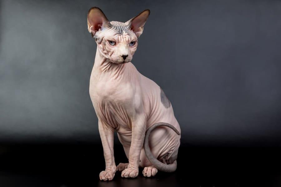 bold cat