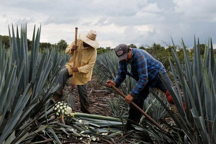 Agave growers harvesting plant