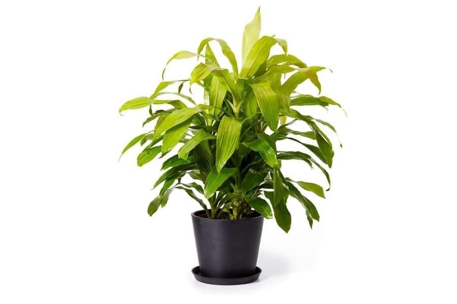 Bloomscape Dracaena Limelight