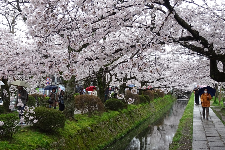 Cherry Blossom Canal