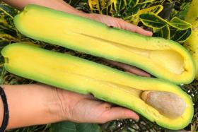 Long Neck Avocados