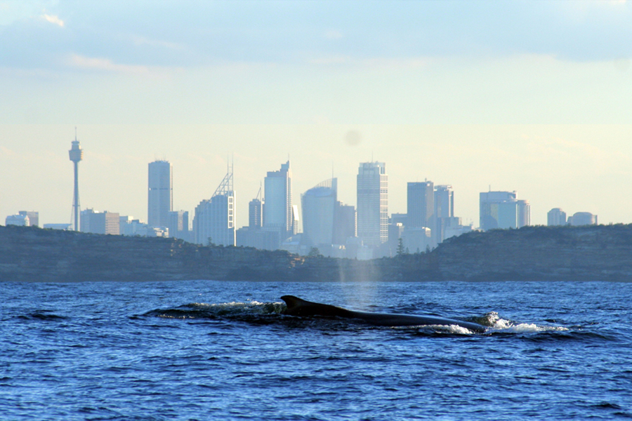 Sydney Eco Whale Watching