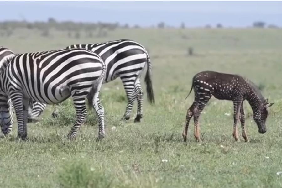 rare spotted baby zebra