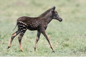 spotted baby zebra