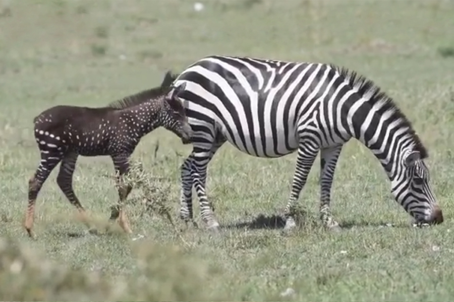 Photographer Spots Rare Baby Zebra with Spots Instead of Stripes