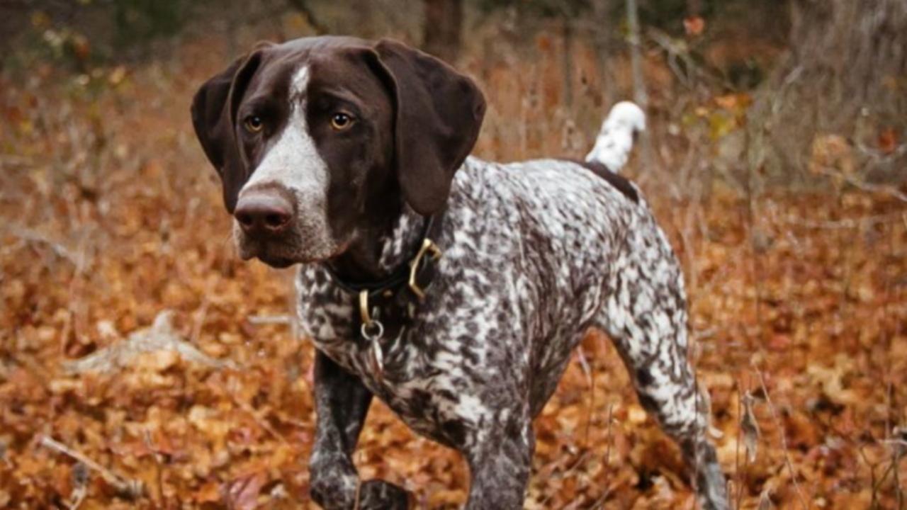 12 Best Hunting Dog Breeds Man Of Many