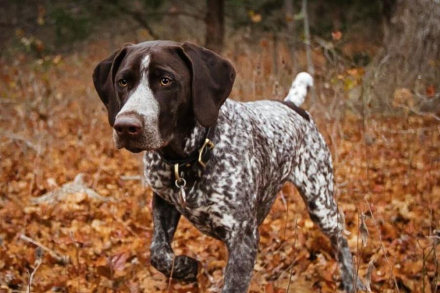Lovački pas - Page 5 Best-Hunting-Dog-Breeds