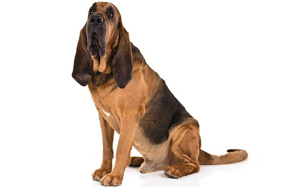 Bloodhound hunting dog