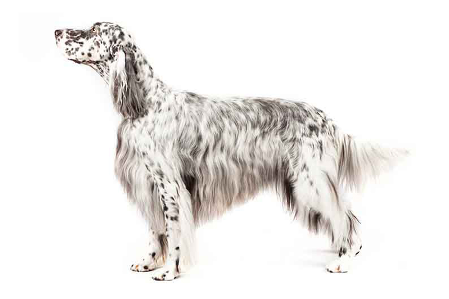 English Setter hunting dog