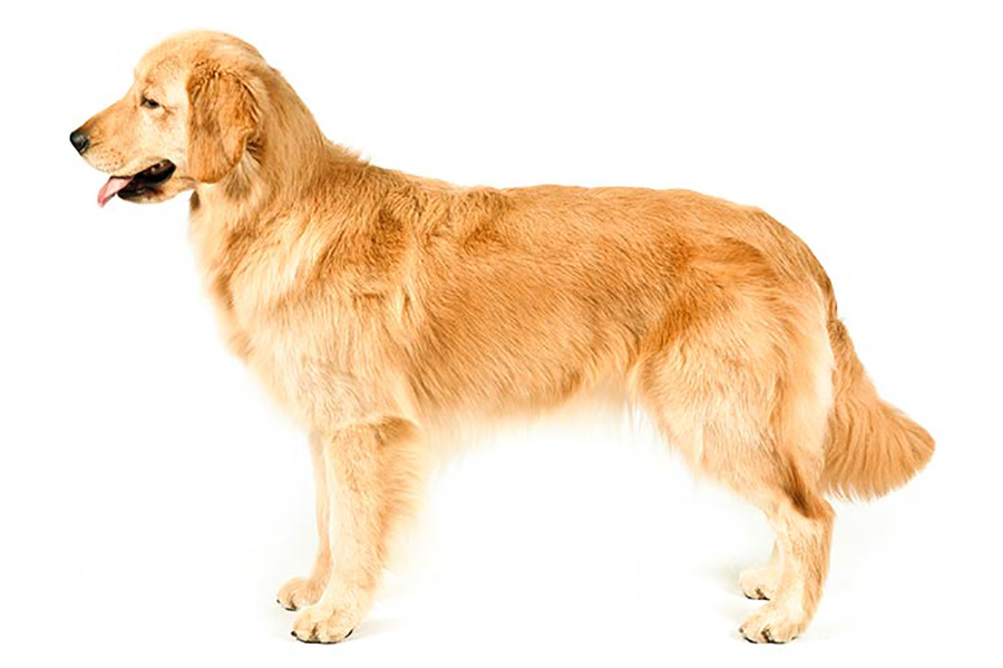 Golden Retriever hunting dog
