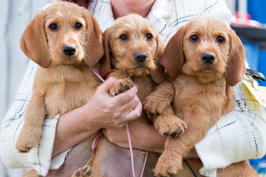 44 лучших породы собак для квартирной жизни - Basset Fauve de Bretagne