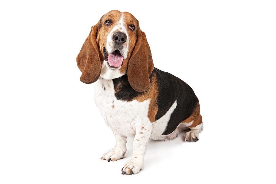 44 Best Dod Breeds for Apartment Living - Basset Hound