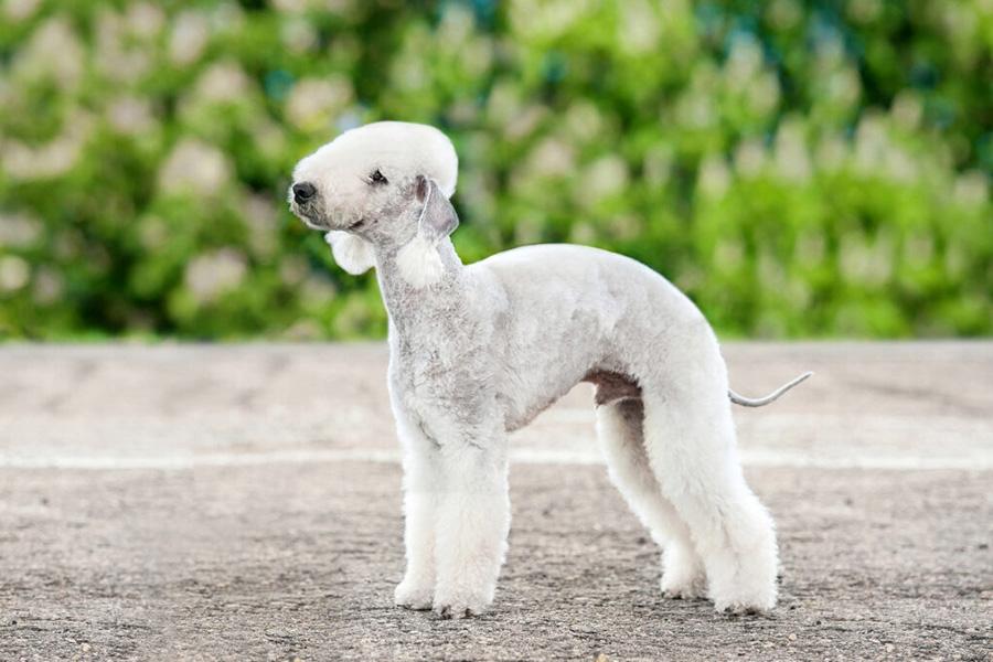 44 лучшие породы собак для квартирного проживания - бедлингтон-терьер