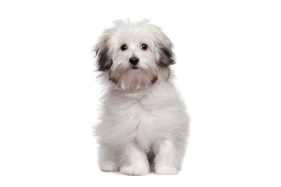 44 Best Dog Breeds for Apartment Living - Bolognese