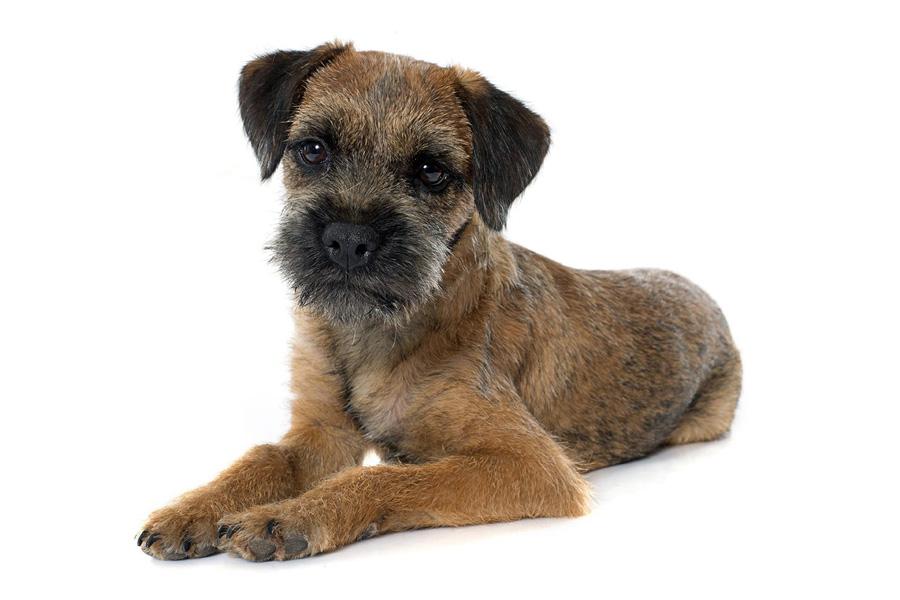 44 Best Dog Breeds for Apartment Living - Border Terrior