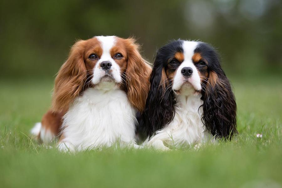 44 Best Dod Breeds for Apartment Living - Cavalier King Charles Spaniel