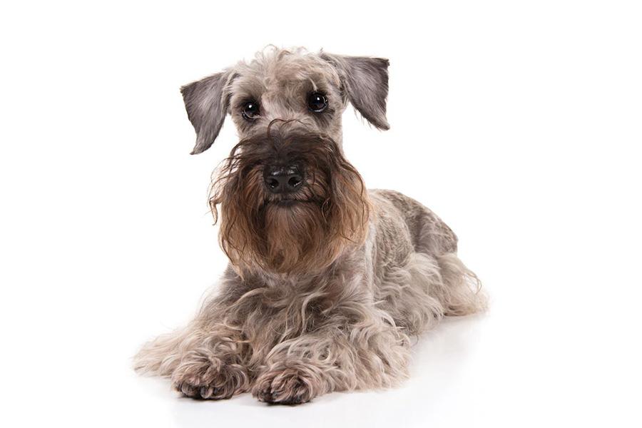 44 Best Dod Breeds for Apartment Living - Cesky Terrier