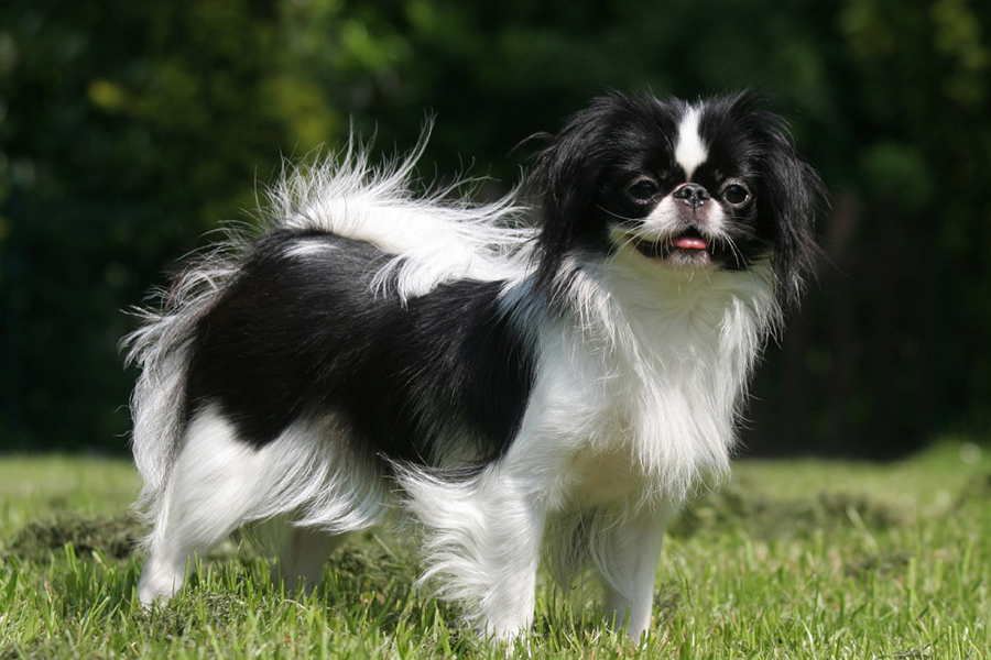 44 Best Dog Breeds for Apartment Living - Japanese Chin
