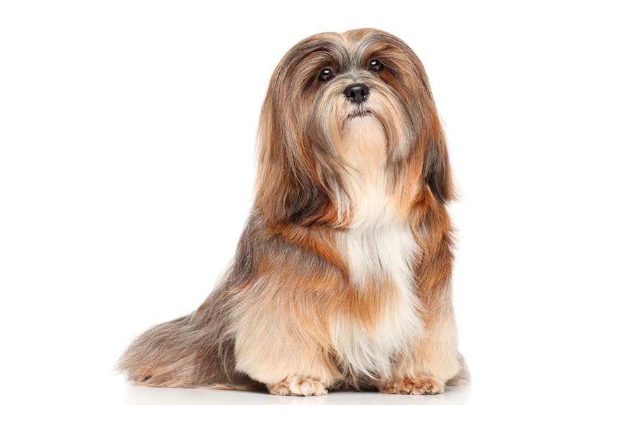 44 лучшие породы собак для жизни в квартире - Лхаса Аспо
