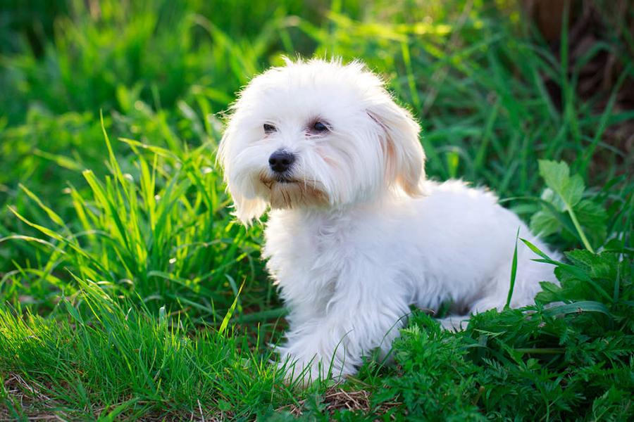 44 лучших породы собак для квартирной жизни - мальтийские