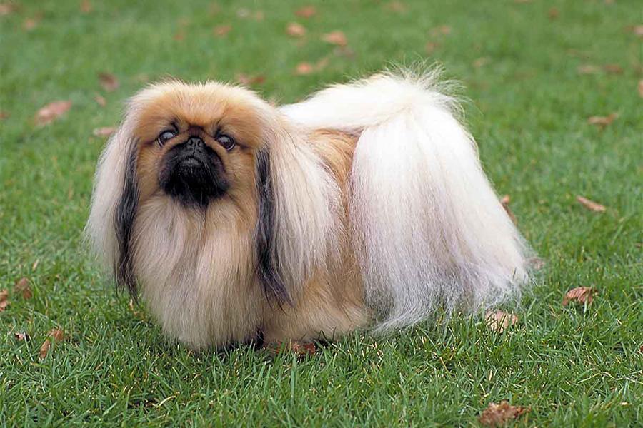 44 Best Dog Breeds for Apartment Living - Pekingese
