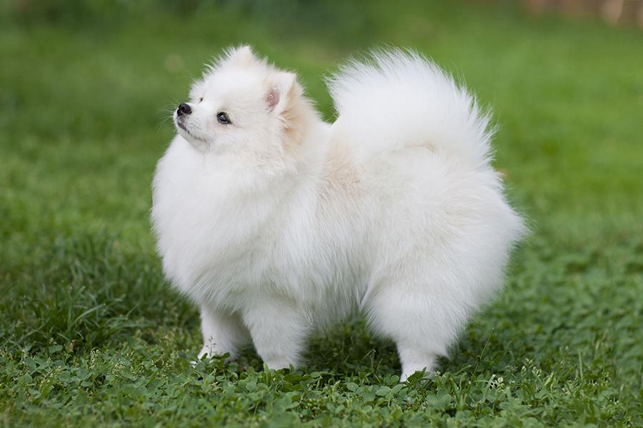 44 Best Dog Breeds for Apartment Living - Pomeranian