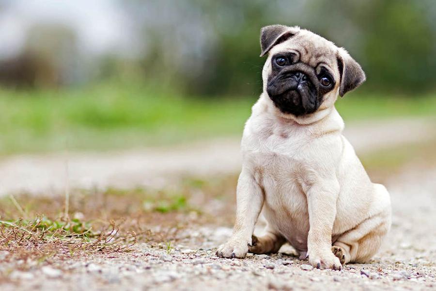 44 Best Dog Breeds for Apartment Living - Pug