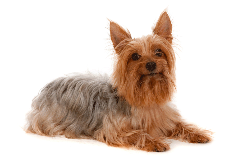 44 Best Dog Breeds for Apartment Living - Silky Terrier