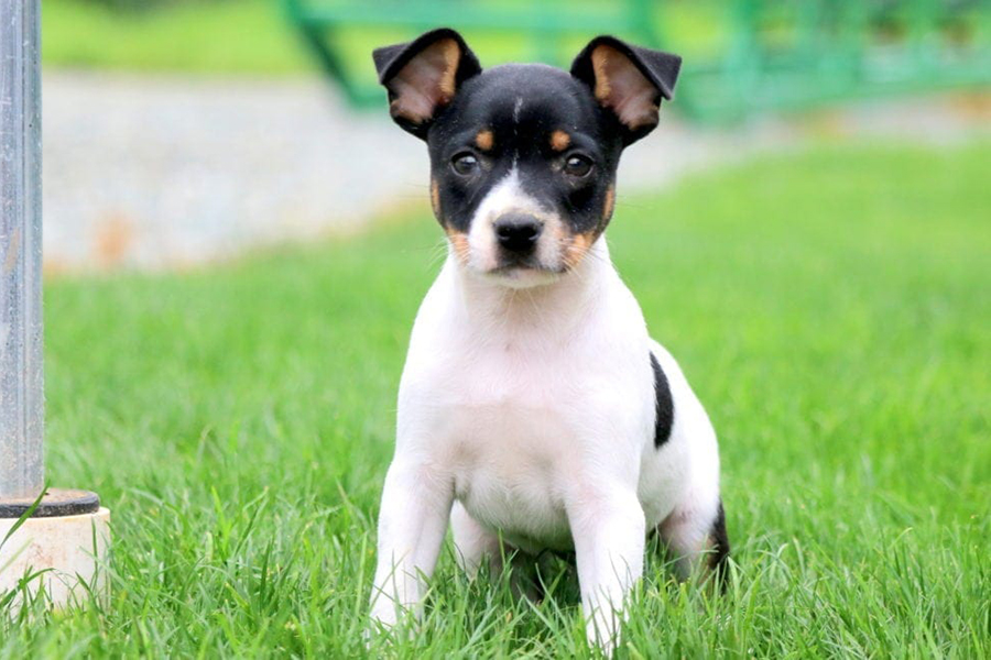 44 Best Dog Breeds for Apartment Living - Toy Fox Terrier