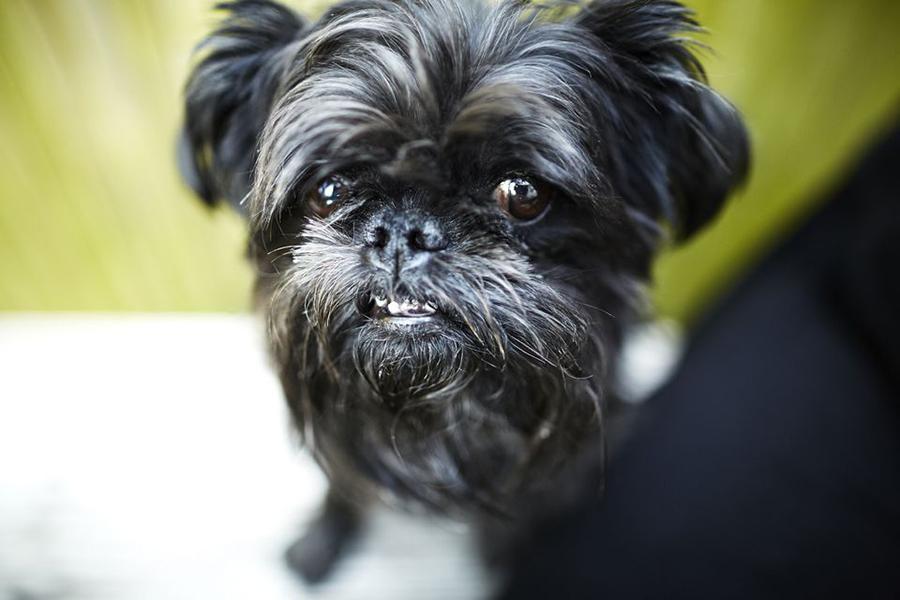 Титул 44 лучших пород собак для проживания в квартире - Affenpinscher2
