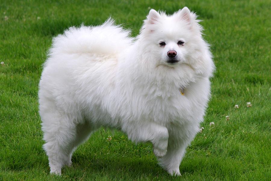 44 лучшие породы собак для квартирного проживания - Американская эскимосская собака