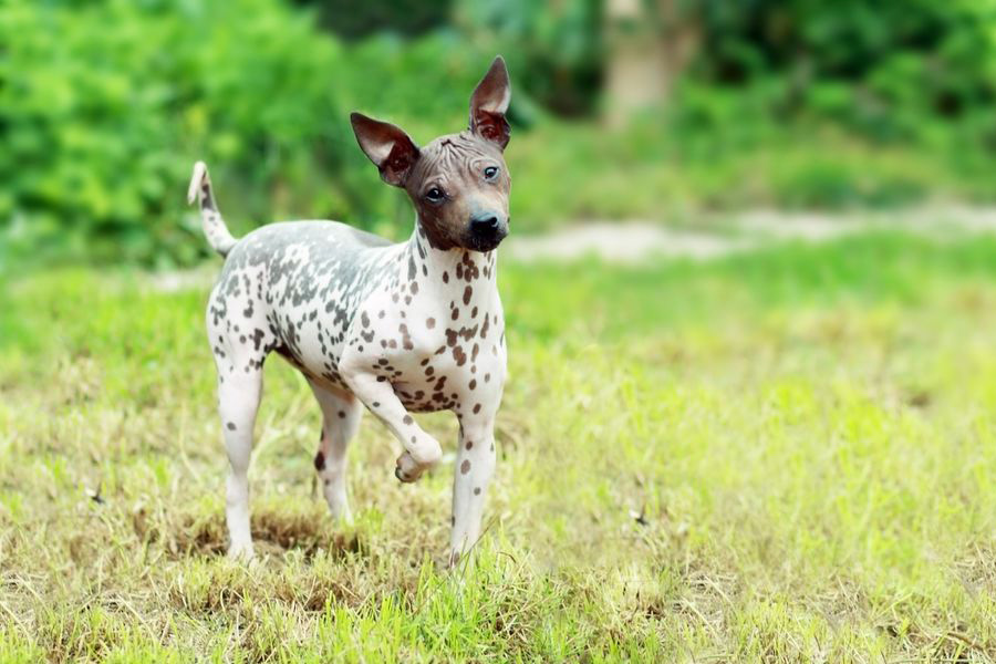 44 Best Dog Breeds For Apartment Living - American Hairless Terrier