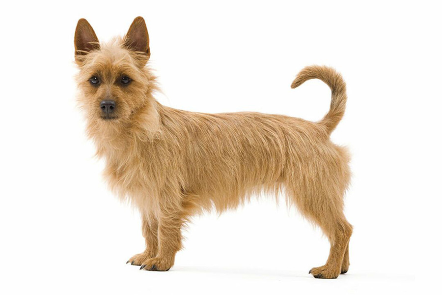 4 лучшие породы собак для квартирного проживания - австралийский терьер