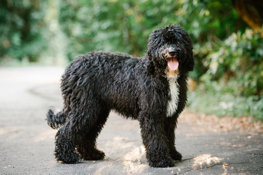 44 Best Dog Breeds For Apartment Liv