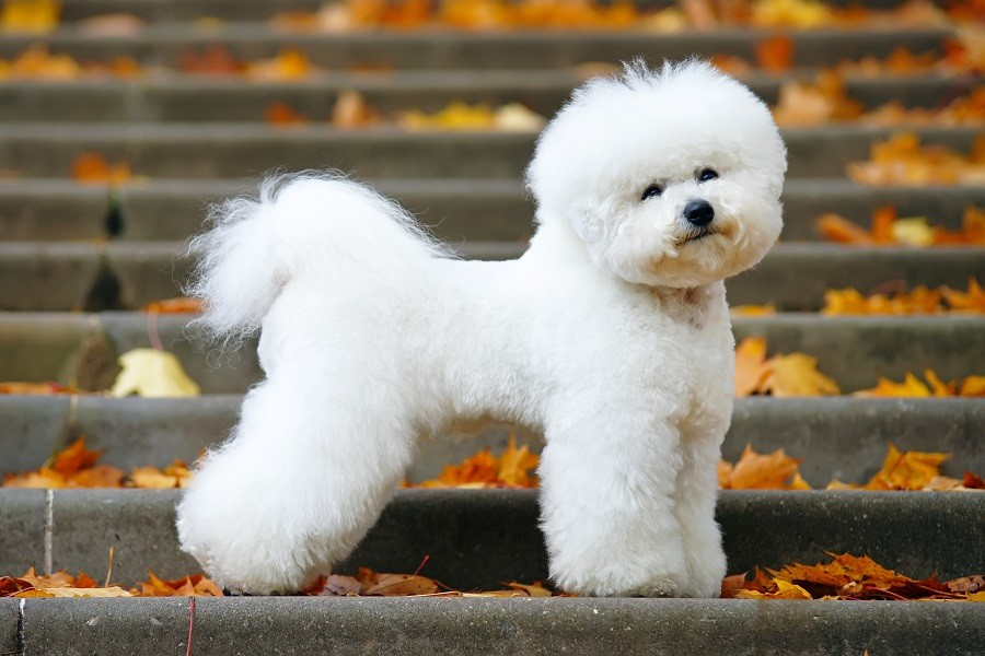 44 Best Dog Breeds For Apartment Living - Bichon Frise