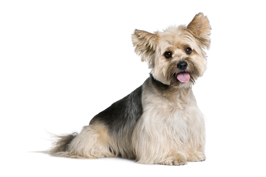 44 Best Dog Breeds for Apartment Living - Biewer Terrier