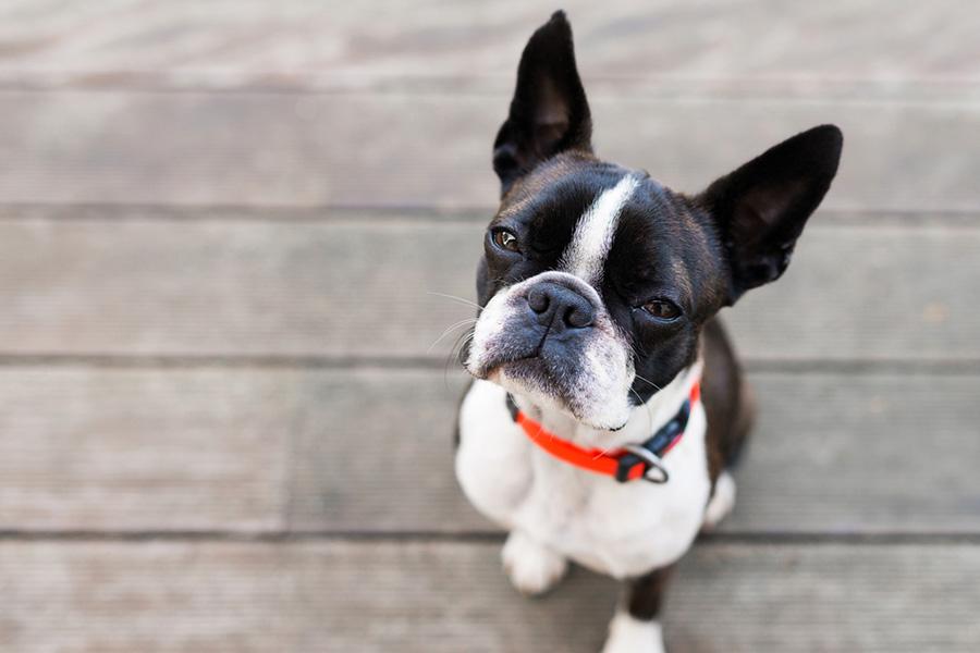 44 лучшие породы собак для квартирного проживания - Бостон-терьер