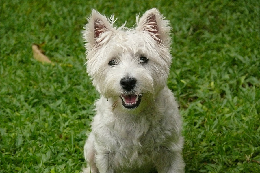 44 Best Dog Breeds For Apartment Living - Cairn Terrier