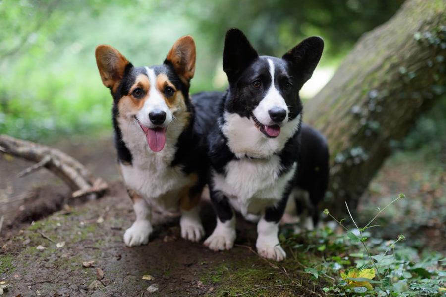 44 Best Dog Breeds For Apartment Living - Cardigan Welsh Corgi