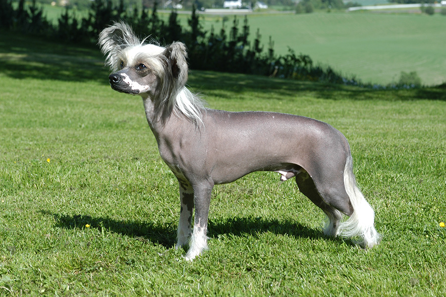 44 Best Dog Breeds For Apartment Living - Chinese Crested