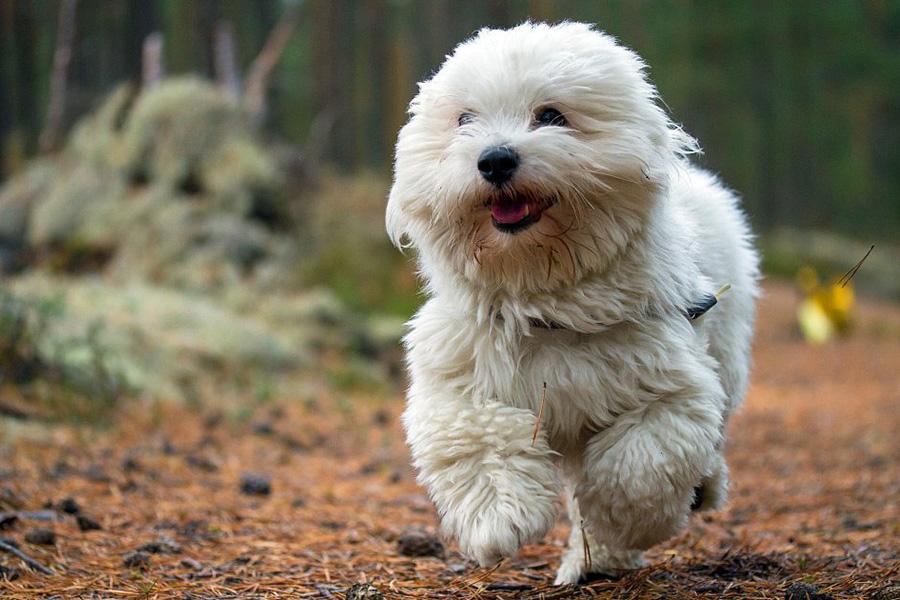 44 Best Dog Breeds For Apartment Living - Coton De Tulear