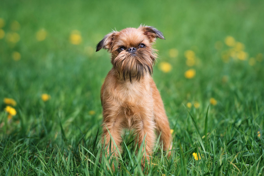 44 Best Dog Breeds for Apartment Living - Brussels Griffon