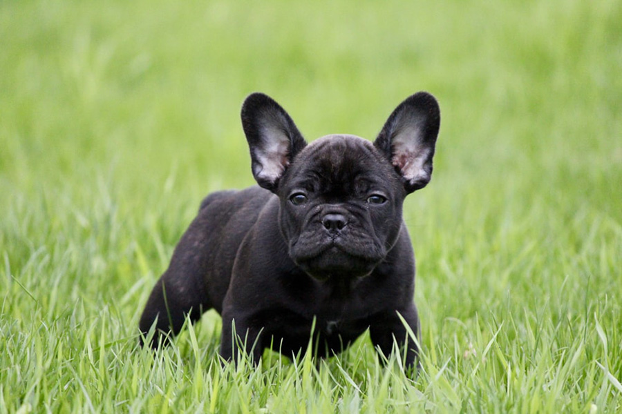 44 Best Dog Breeds for Apartment Living - French Bulldog