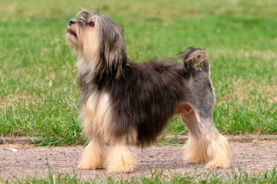 4 Best Dog Breeds for Apartment Living - Lowchen