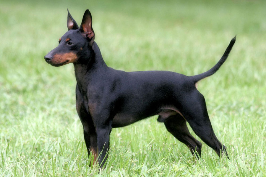 44 Best Dog Breeds for Apartment Living - Manchester Terrier