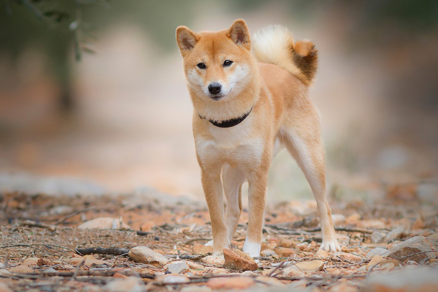 44 Best Dog Breeds for Apartment Living - Shiba Inu